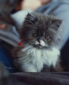 Adorable Little Baby Blue & White Persian Kitten - Aww, just Look at that…