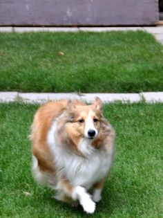Sheltie running