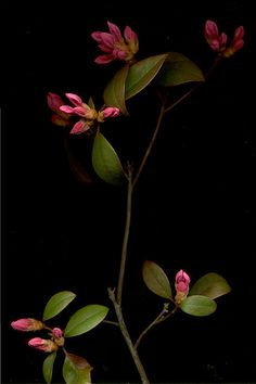 05682 Rhododendron Aglo 391 by horticultural art, via Flickr