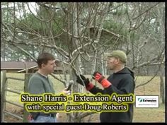 Pruning A Pear Tree - YouTube thick accents but God info re cutting back.  They did top though