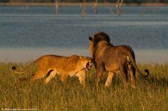 Three unknown males at Matusadona Zimbabwe, Big Cats, Followers, Lion, National Parks, Horses, Places, Dogs, Animals