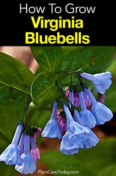 Indoor Gardening How To Grow Virginia Bluebells - A low-growing herbaceous hardy perennial plant, content with average soil in semi-shade or full sun, the Virginia bluebells requires no special skill. Herbaceous Perennials, Hardy Perennials, Perennial Plant, Perennial Gardens, Blue Garden, Spring Garden, Shade Garden, Virginia Bluebells, Blue Bell Flowers