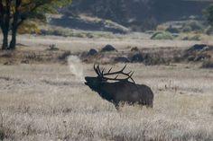 Elk Pictures, Deer Pics, Deer Camp, Elk Hunting, Animal Games, Rocky Mountain National Park, Rocky Mountains, Moose, National Parks
