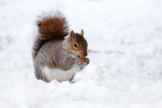 #animal #animal photography #close up #snow #squirrel #winter