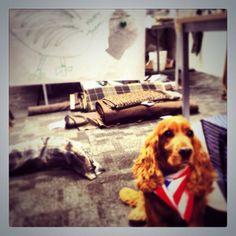 Jasper @ginger_jasper  Nov 28 Tuckered out after helping costume turkey @OutlanderCostum Happy #thanksgiving #outlander