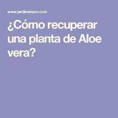 ¿Cómo recuperar una planta de Aloe vera?