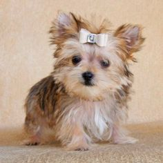 Morkie Puppie a mix with Yorkie and Maltese Morkie Puppies, Teacup Puppies, Cute Puppies, Dogs And Puppies, Poodle Puppies, Pet Dogs, Dog Cat, Doggies, Baby Animals