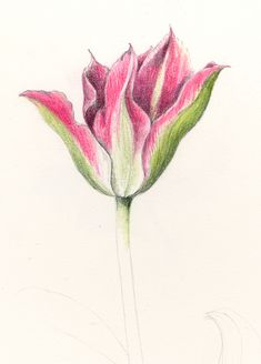 Tulip. From the collection of botanical illustrations of flowers by Wendy Hollender.