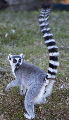 Lemur Lemurs, Beach Scenes, Zoo Animals, Madagascar, Ducks, Fur Babies, Beautiful Things, Dog Cat, Creatures