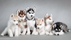 Husky Puppies Cute Animals Pets Poster Wall Art Home Decor PERSONALIZED FREE