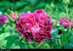 rosa-charles-de-mills-agm-gallica-rose-B1CBHD.jpg (640×447)
