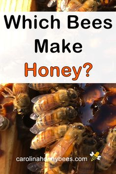 Do all bee make honey?  Find out all the facts about honey making bees. #carolinahoneybees #honey #beehoney