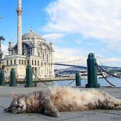 Serenity cat at Mecidiye Mosque-Ortaköy Animals Of The World, Animals And Pets, Cute Animals, Pictures Of Turkeys, World Pictures, All Gods Creatures, Cool Pets, Beautiful Cats, Cat Memes