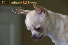 cabeza raza chihuahua