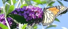 This Royal Red Butterfly Bush and Monarch butterfly are the perfect summertime diversion. Add a glass if suntea made with Kentucky Colonel mint and you have one lazy afternoon.