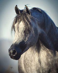 Malik El Jamaal :: Arabian Horses of Stonewall Farm