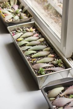 Propagate succulents with leaf cuttings. Using honey as root hormone. (little potted succulents as decor AND favors.)