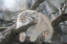 sleeping pallas cat
