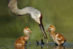 Sandhill crane chicks - courtesy of Jim Urbach & National Wildlife Federation