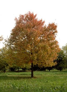 Hedge Maple (drought tolerant)