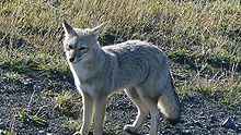 South American gray fox/Patagoinian Fox-Not a true fox,but a separate Canide species
