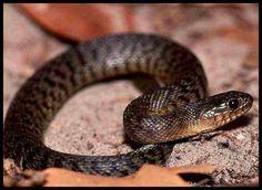 Florida Green Watersnake ... non venomous.