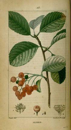 img/dessins-gravures de plantes medicinales/alisier, alizier, alisier commun, alisier blanc, alouchier.jpg