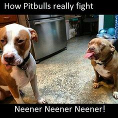 How pitbulls really fight . . .