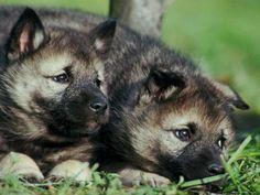 Elkhound puppies! #elghund #elkhound