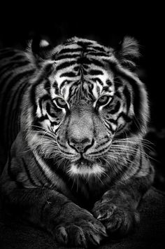 The Elusive - Tigers are very majestic and elusive creatures, I have always enjoyed photographing them. This is a shot of a femal sumatran tigress Best viewed in Black Thanks everyone to stop by and vote Really Appreciate it. You can also follow my work on FB: https://www.facebook.com/anpanditphotography