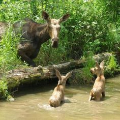 Mom and baby moose in Pittsburg, NH.  I've been here and saw many moose ;-) this is precious!