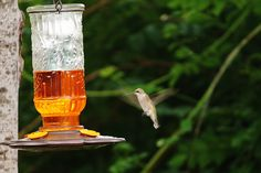 Hummer at the Oriole feeder