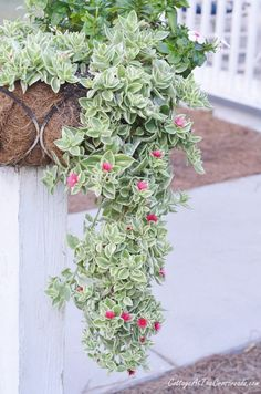 - Mezoo Trailing Red-My Favorite Succulent Mezoo Trailing Red-My Favorite Succulent – Cottage at the Crossroads Flowering Succulents, Hanging Succulents, Succulents In Containers, Container Plants, Cacti And Succulents, Container Gardening, Planting Flowers, Container Flowers, Trailing Flowers