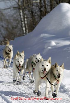 Wednesday, March 7, 2012. Jim Lanier and his characteristic team of stunning white huskies run down the road into the Takotna checkpoint.