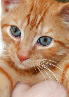 Orange Tabby - I have heard that orange cats are the sweetest, most friendly cat in the world..they will always love you!
