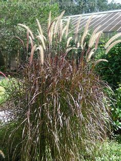 Red Fountain Grass - a stunning perennial accent plant for your Florida Garden.  Wonder if it would work in Michigan??