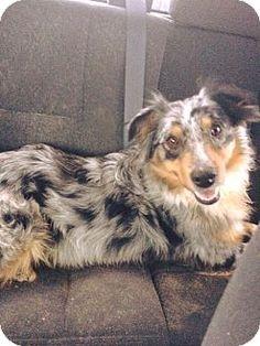 Newport, MI - Australian Shepherd Mix. Meet Cameron, a dog for adoption. http://www.adoptapet.com/pet/15400668-newport-michigan-australian-shepherd-mix