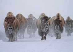 Bison Army | Photograph by Panos Laskarakis |  A herd of bison make their way through Yellowstone National Park during a -30  celsus winter.  Celebrate the beauty and majesty of Yellowstone and submit your best photos to the #Yellowstone hashtag on Your Shot. #Yellowstone #bison #snow #yourshot #natgeo #wildlifephotography #wilderness #montana #nationalparks #cold #winter #bisons by natgeoyourshot