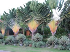 Ravenala madagascariensis, Traveller's Palm. Yucca aloifolia 'Variegata' and Agave angustifolia 'Marginata.'