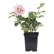 Rosa 'Blue girl') - Google Zoeken Google, Plants, Plant, Planets