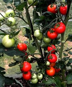 Tomatoes - New tricks for larger crops     http://www.garden-nz.co.nz/latest-news/news/tomatoes-new-tricks-for-larger-crops.html
