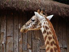 Girafa - Zoológico de São Paulo - photo by Renato Aguiar