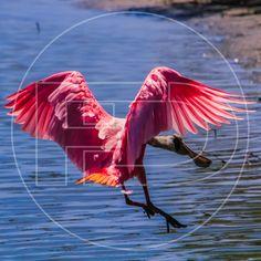 A veces quiero emprender el vuelo y perderme, y a veces solo pisar tierra y descansar. #bird #spoonbill #ornithology #birdwatching #roseatespoonbill #outdoors #adventure #wildlife #travel #nature #natgeowild #bbcearth #natgeotravel #bbctravel #bbc #natgeo #discovery #photography #documentary