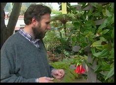 Reproducción de copihues a través de semillas.  Ver: http://www.cultivosurbanos.org/wp-content/uploads/2012/06/Lebed-Oscar-Reproduccion-de-Plantas-Nativas.pdf
