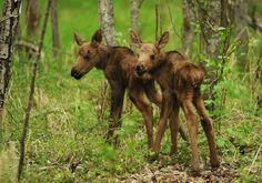 Фото: Moose младенцы появляются в Анкоридж - Аляска диспетчерским Новости