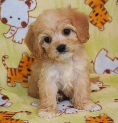 Cavachon puppy (one day when Marion and Tony pass on)