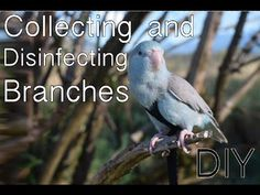 Collecting and Disinfecting Branches | DIY - YouTube Bunny Toys, Bird Toys, Cat Toys, Pet Birds, Branches, Cage, Macrame, Pets, Youtube