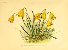 Fritillaria pudica (Pursh) Sprengel / The garden. An illustrated weekly journal of horticulture in all its branches [ed. William Robinson], vol. 13:  (1878)