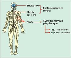 Neurone, Illustrations, Books, Peripheral Nervous System, Cranial Nerves, Spinal Cord, The Nerve, The Brain, Central Nervous System