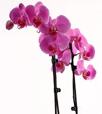 Does your phalaenopsis orchid have broken leaves or stems? Here's how you can take care of it!